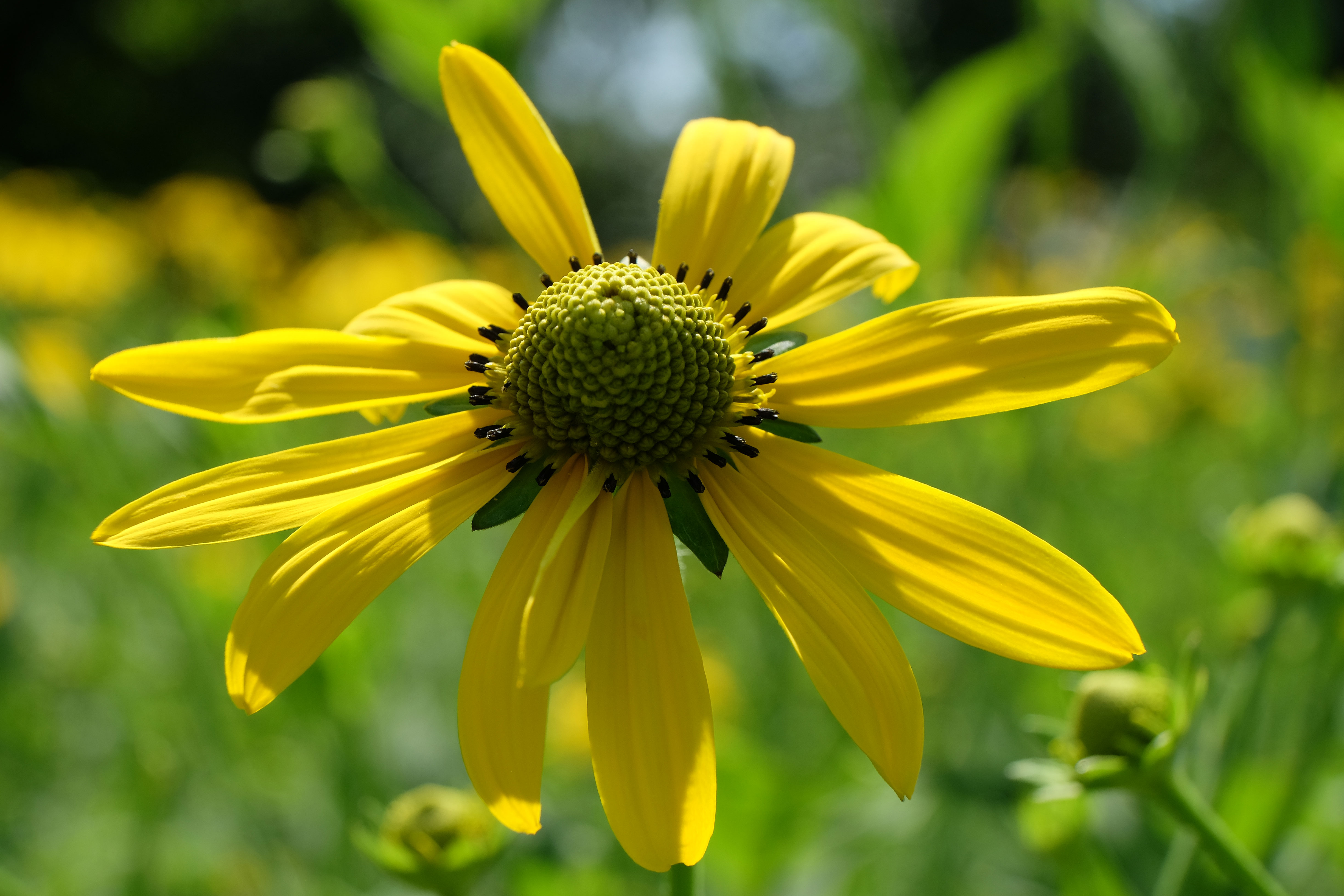 The coneflower